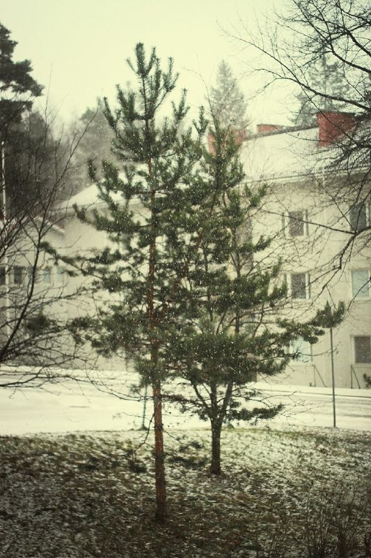 The pine outside the window. While the snow was falling.